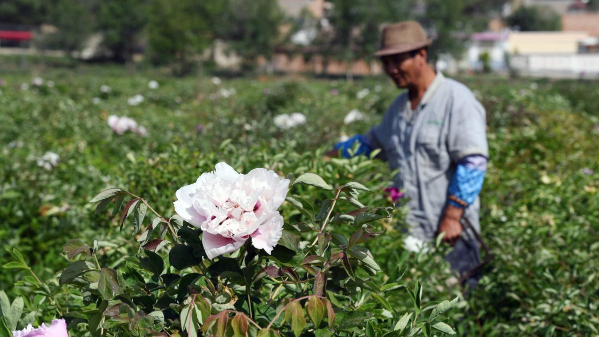 On May 22, local peony farmers are checking the conditions of oil peonies in a plantation base.