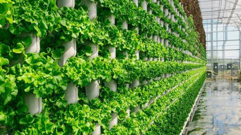 Eden Green Technology vertical vine system grows walls of produce for Crisply line sold at Walmart. Credit: Eden Green Technology